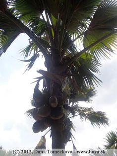 Doublecoconut tree Botanical Gardens, Sri Lanka, Fruit