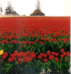 Scagit Valley Tulip Festival. Washington State. I love how, every so often, a stray yellow tulip looks like a star shooting across a cherry sky.