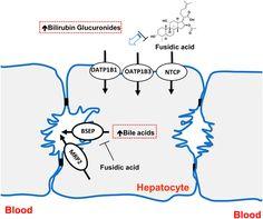 Inhibition ofHepatobiliary Transport Activity bythe Antibacterial Agent Fusidic Acid: Insights into Factors Contributingto Conjugated…