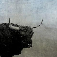 Highland Cattle. Beautiful.