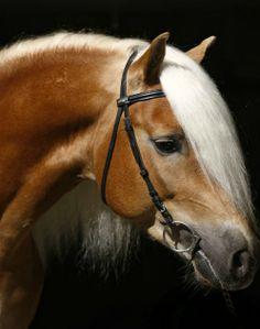Haflinger stallion, Wintersturm. photo: Christiane Slawik.