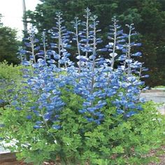 Wild Blue Baptisia: add height and command attention with these stately indigo-blue spikes. Possibility for the front garden bed. Tolerates drought conditions with ease. Grows tall in sun to part shade. Zone 6 Plants, Winter Garden, Hummingbird Garden, Plants, Rock Garden Plants, Perennials, Flowers, Blue Garden, Perennial Garden