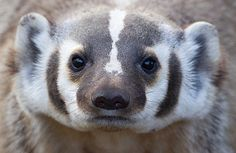 American Badger by Max Waugh Photography, via Flickr