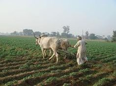 Punjab Fields
