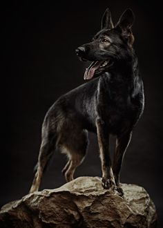 #Sable #German #Shepherd
