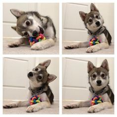 "When a dog hears you say ""treats"" '"