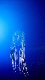 Box jellyfish - Wikipedia, the free encyclopedia