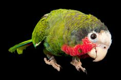 Out of the cage, parrots speak their own language, make tools, and wreak havoc on plants and researchers' efforts alike: