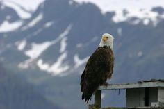 Bald Eagle - Seward, AK - by Susan Donnelly