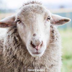 Las ovejas son uno de los animales con el corazón más bonito que hemos conocido. Es difícil de explicar pero cuando una oveja te abre su corazón y te entrega su confianza simplemente el corazón explota de amor :)  Clarita es una oveja muy especial. Es tan sutil y alegre que enamora a quien la conoce. Confía tanto en nosotros que mueve su colita cuando le hacemos cariño pues al igual que los perros las ovejas mueven la colita de felicidad  -- Historia de Clarita  http://ift.tt/29xhYF1
