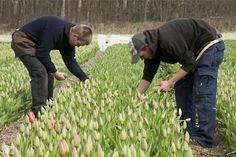 In het voorjaar worden tevens buiten tulpen geplukt. De tulpen worden van de steel geplukt en er blijft 1 of 2 blaadjes op de plant staan