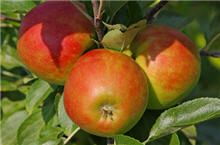 Start picking Gala Apples right away. No waiting for sweet, delicious, plump, juicy apples with our Dwarf Gala Apple Trees. Apple Plant, Apple Tree, Natural Apple Cider Vinegar, Apple Varieties, Fast Growing Trees, Edible Plants, Edible Flowers, Mini Farm
