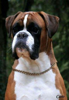 Boxer Dogs dogs sale in Gurgaon 0000000000 dog for sale in Gurgaon - we have only top quality pups all kinds of dogs available here with breed certificate and we have only active pups cutting and boarding are also available. Boxer And Baby, Boxer Love, I Love Dogs, Cute Dogs, Boxer Dog Puppy, Dog Cat, Boxers, Kinds Of Dogs, Dogs And Puppies