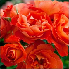 Floribunda - Vibrant tangerine orange blooms on a upright strong growing plant with mid Coral Roses, Growing Plants, Nurseries, Salmon, Bloom, Shades, Pure Products, Orange, Garden
