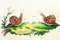 Ślimaki – scena zalotów (widoczne m.in. strzałki miłosne) /Helix hortensis, garden snail/ (Shaw 1789)