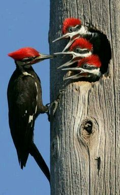 Pileated Woodpecker family.