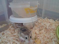 Hamster Necessities - DIY Hamster!