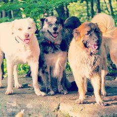 Our fluffy butts hanging out!  From left we have Ziggy, Mavis & Fezzik!  Fezzik is up for adoption through @badassbrooklyn! #evasplaypupsPA #dogs #dogcamp #smilingdogs #happytails #fluffy #hikingdogs #doghikes #dogsinnature #runfree #bffs #dogsocialization #muttigrees #dogsofinstagram #instapups #ziggysofinstagram #itsadogslife #dogdaysofsummer #brooklyndogs #rescuedog #adoptdontshop #doggyvacays #doggievacays #dogboarding #endlessmountains #mountpleasant #northeasternpa #PA #pennsylvania