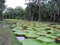 Sir Seewoosagur Ramgoolam Botanical Garden, is a popular tourist attraction near Port Louis, Mauritius, and the oldest botanical garden in the Southern Hemisphere. The garden is most famous for its giant water lilies.