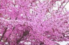 Image result for judas tree images Judas Tree, Tree Images, Tree Seeds, Flower Seeds, Bonsai, Amethyst, Texture, Crystals, Garden