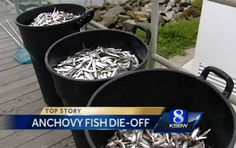 Major Mass Fish Die-Off Near California Coast in 2 Weeks California Coast, Lose Weight, Creatures, Earth, Fish, News, Santa Cruz, Pisces, Mother Goddess