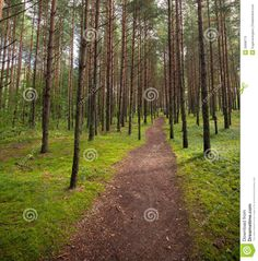 photographs of pine tree forest   Stock Photography: Lane in the pine tree forest