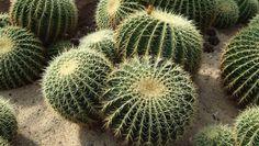 Coltivarelechinocactus_Cuscino della suocera