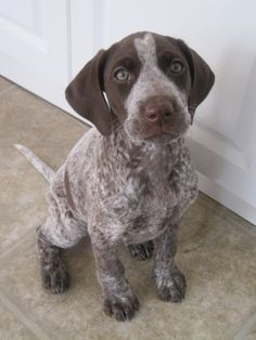Pictures of German Shorthaired Pointer Dog Breed-similar to the puppy Jayden got for his 2nd birthday