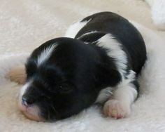 ''Alex'' Puppies  D.O.B. 7 - 16 - 12: Female Two Black And White With Gold Detailing, Exp.4 to 5 lb #animals #dogs #puppies