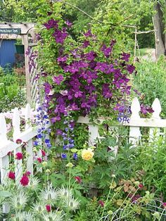 clematis polish spirit in my previous garden- paired with golden celebration rose and blue delphinium
