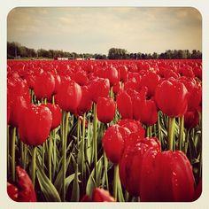 Simply beautiful #tulip #fields #earlybirdlove #ebstyles_gf #jj #jj_forum - @alanisko- #webstagram