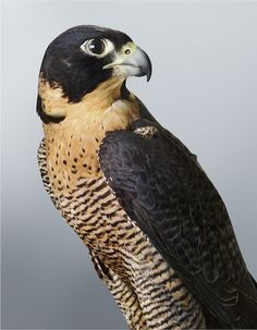 'Cleo' Peregrine Falcon, 2014. Part of Leila's upcoming exhibition 'Prey' at Olsen Irwin Gallery. Photo – Leila Jeffreys.
