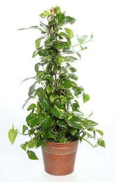 This extremely low maintenance and hardy plant is best known for its flexibility. The Golden Pothos targets formaldehyde and also combats carbon monoxide and benzene. Ivy Plants, Hardy Plants, Fast Growing Vines, Golden Pothos, Rubber Plant, Indoor Plant Pots, Peace Lily, Green Gifts, Plant Needs