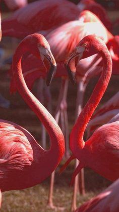 Heart of Flamingo