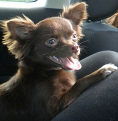 Miss Harlie - Long Haired Brown Chihuahua, beautiful <3…. this is what Coco will look like when her hair is all grown out! So Cute!