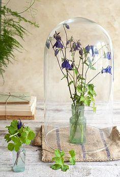 Akelei onder een stolp #flowers #cloche