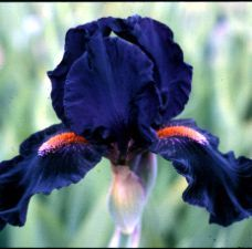 'Devil May Care' Iris... for the front garden