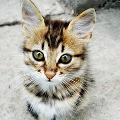 #Cats  #Cat  #Kittens  #Kitten  #Kitty  #Pets  #Pet  #Meow  #Moe  #CuteCats  #CuteCat #CuteKittens #CuteKitten #MeowMoe      Such a beautiful striped cat! ...   https://www.meowmoe.com/34698/