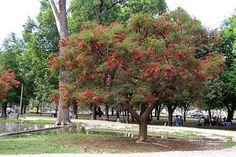 Árbol de Ceibo - Foto Nacho Quiroga