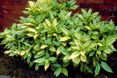 Gold Dust Aucuba (Aucuba japonica 'Variegata') - This shrub grows 6 to 10 feet tall by 6 to 8 feet wide. Plant in shade or partial sun.