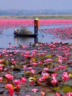 Water lilies, Lake Nong Harn, Thailand