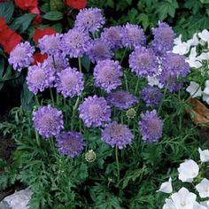 Scabiosa Butterfly Blue, Scabiosa columbaria - Spring Perennials from American Meadows