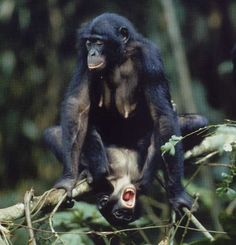 """Bonobo   pout face: This is where the eyes are opened and the lips are pushed forward making an """"O"""" shape (Estes, 1991). This display occur in circumstances of frustration or anxiety such as after an attack, rejection of grooming, when an infant is lost, and after detecting a strange object (Estes, 1991).  play face: This is where the eyes are open and the mouth is open but the teeth are not showing (Estes, 1991). This display occurs during play with other conspecifics (Estes, 1991)."""