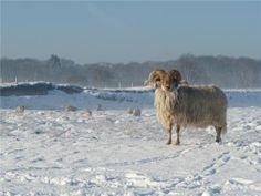 Ram, Blaricum, December 2012  winterfotos, 't Gooi - dichtbij.nl