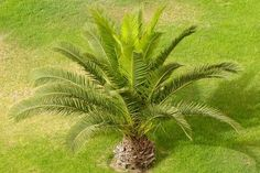 How to Plant Sego Palm Seeds