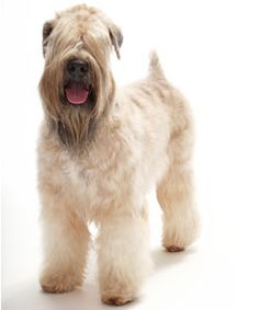 Learn all about the Soft Coated Wheaten Terrier dog before deciding this dog breed is right for your family.