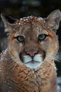 Mountain lion, cougar or just call me Kitty. Cool Cats, Big Cats, Cats And Kittens, Nature Animals, Animals And Pets, Cute Animals, Wild Animals, Beautiful Cats, Animals Beautiful
