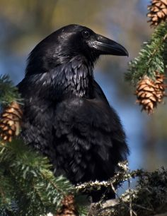 Raven at Rest by ingridtaylar, via Flickr