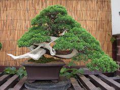 "Artist: Steve Tolley Han Kengai Itoigawa Juniper (Juniperus chinensis ""Itoigawa"") Juniper Bonsai!"