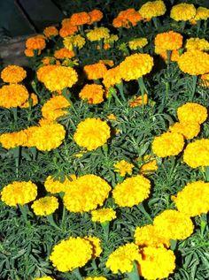 Marigolds in Garden Lavender Companion Plants, Strawberry Companion Plants, Squash Companion Plants, Companion Planting Chart, Marigolds In Garden, Growing Marigolds, Hydrangea Garden, Garden Pests, Calendula